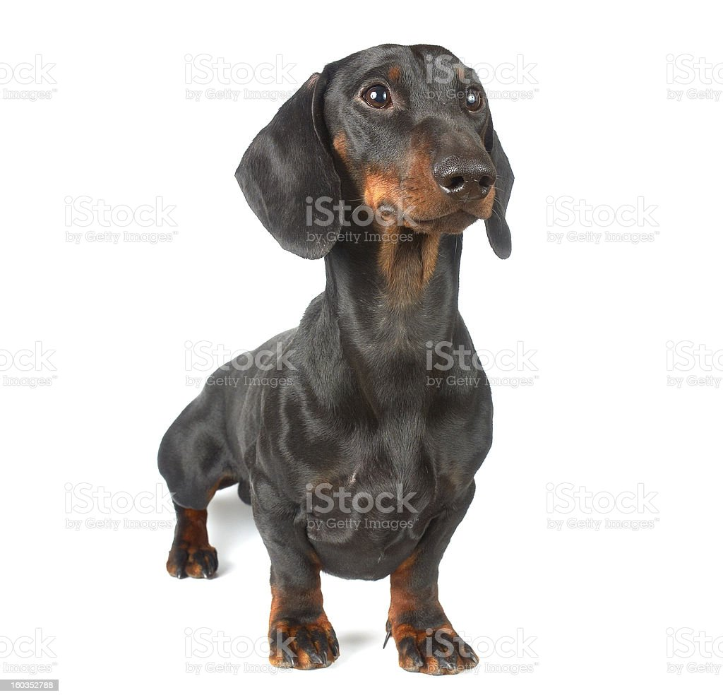 Young black and tan dachshund royalty-free stock photo