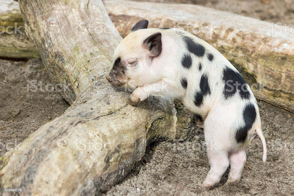 Young black and white piglet at tree trunk stock photo