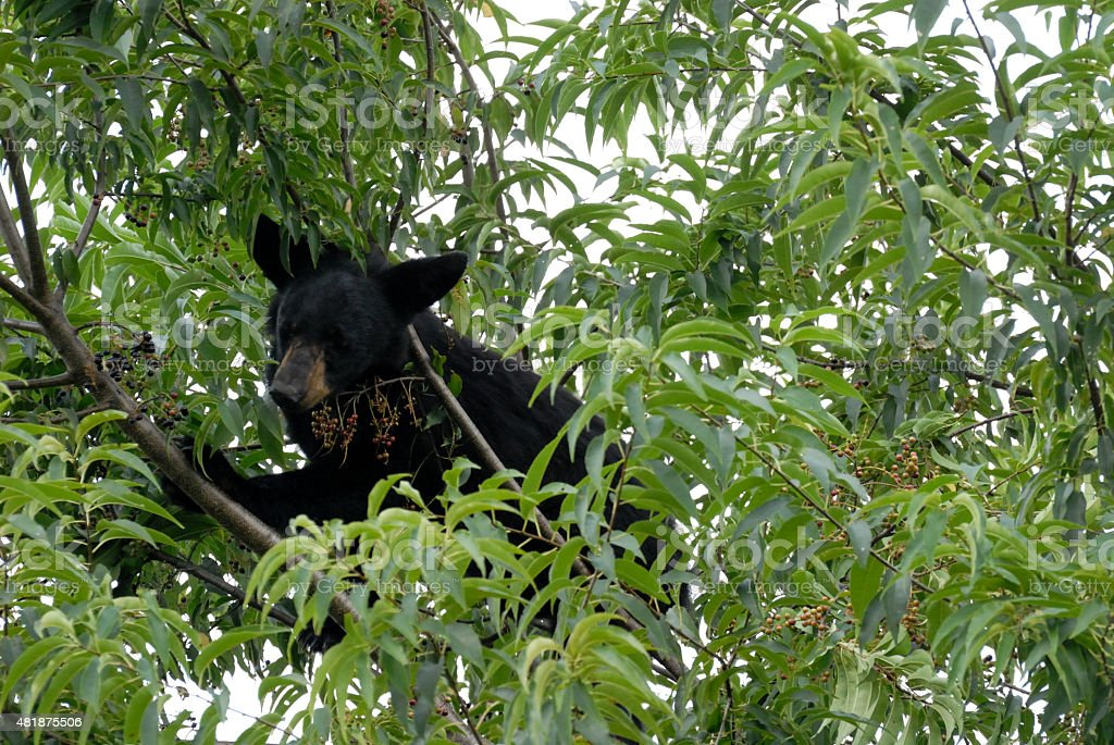 Image result for black bear eating cherries