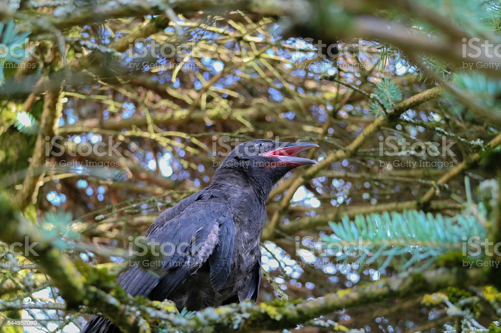 young Black crow, Corvus, corone, on tree. stock photo