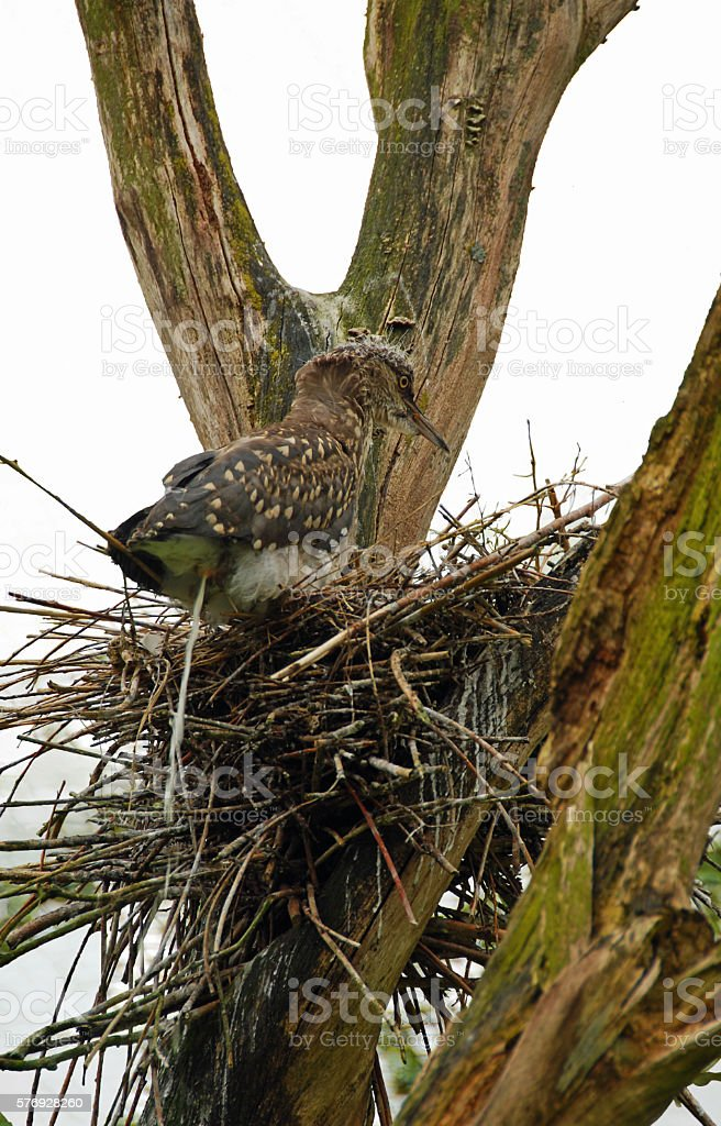 Young Black crowned night heron on a bird`s nest. stock photo