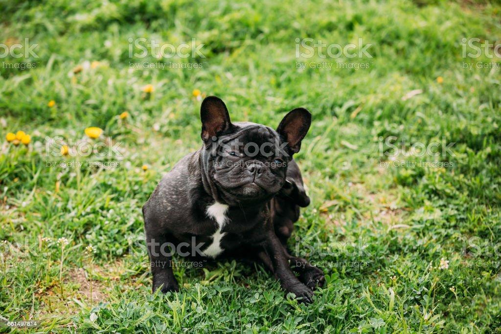 Young Black French Bulldog Puppy Dog Sitting On Grass stock photo