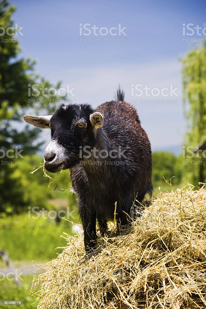 Young Black Goat chewing hay stock photo
