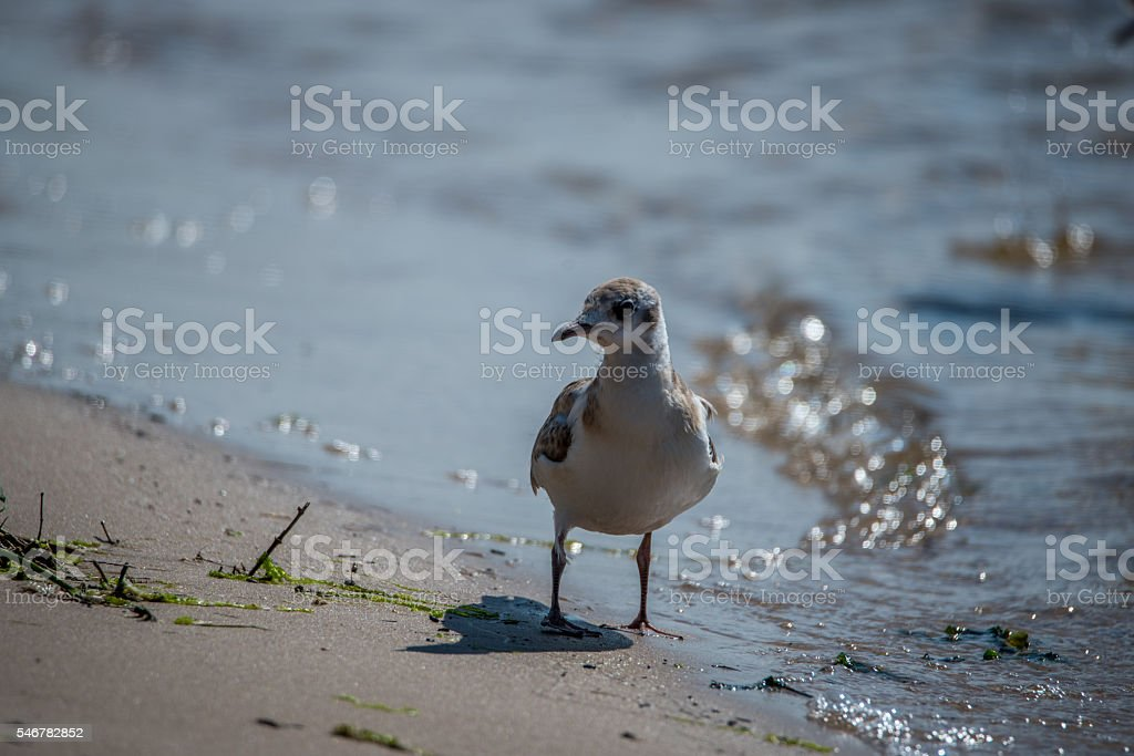 Young Black Headed Seagull on Baltic Sea Beach stock photo