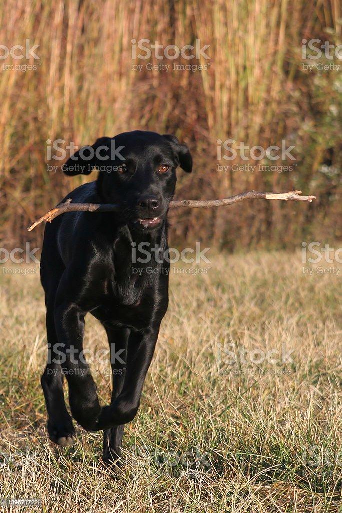 Young Black Labrador Canine Retrieving royalty-free stock photo