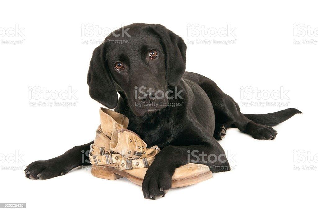 Young black labrador retriever playing with a shoe stock photo