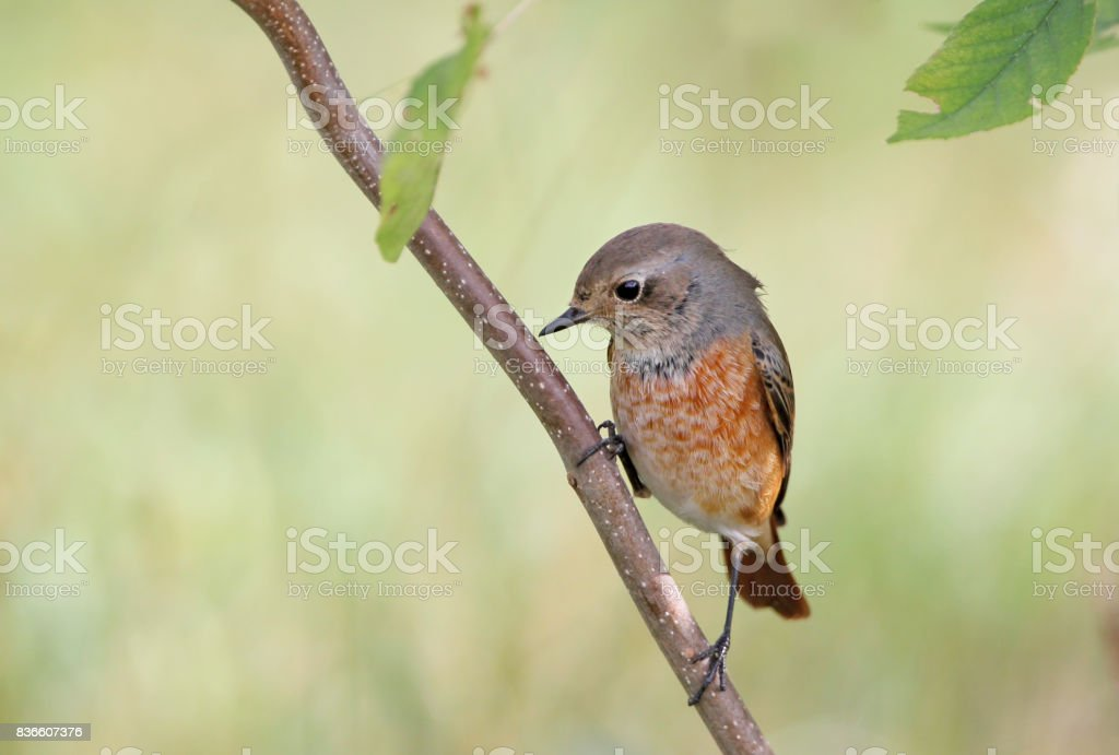 Young black redstart on the branch stock photo