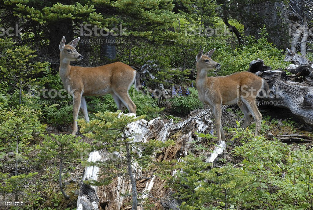Young Black Tail Deer royalty-free stock photo