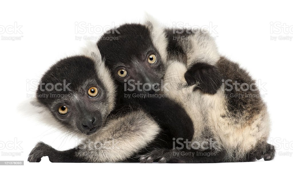 Young Black-and-white ruffed lemurs, two months old, white background. stock photo