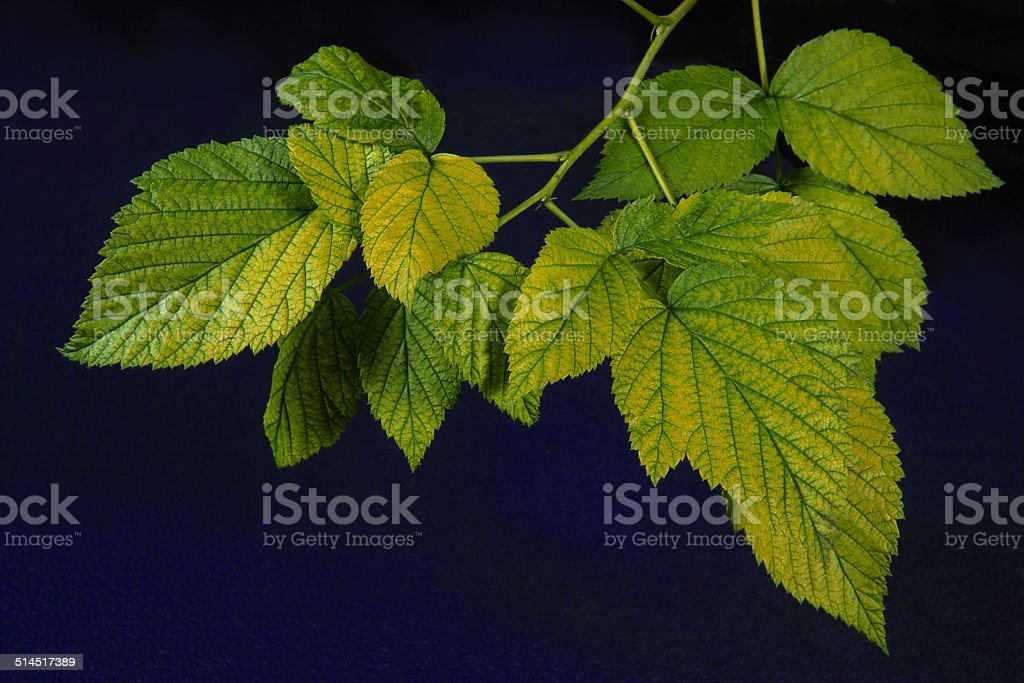 Young Blackberry leaves on dark blue background royalty-free stock photo