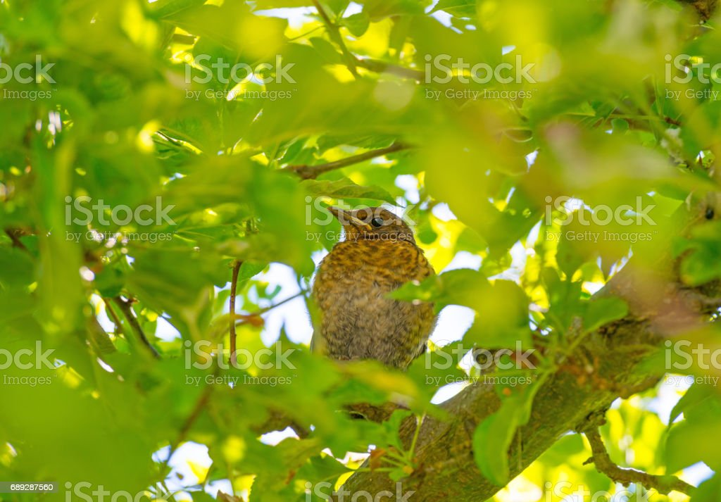 Young blackbird in a tree in sunlight in spring stock photo