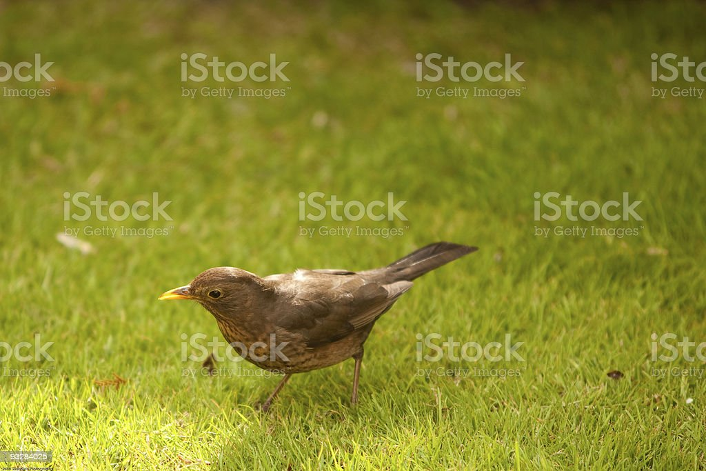 Young blackbird on grass stock photo