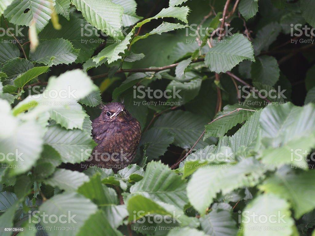 young blackbird stock photo
