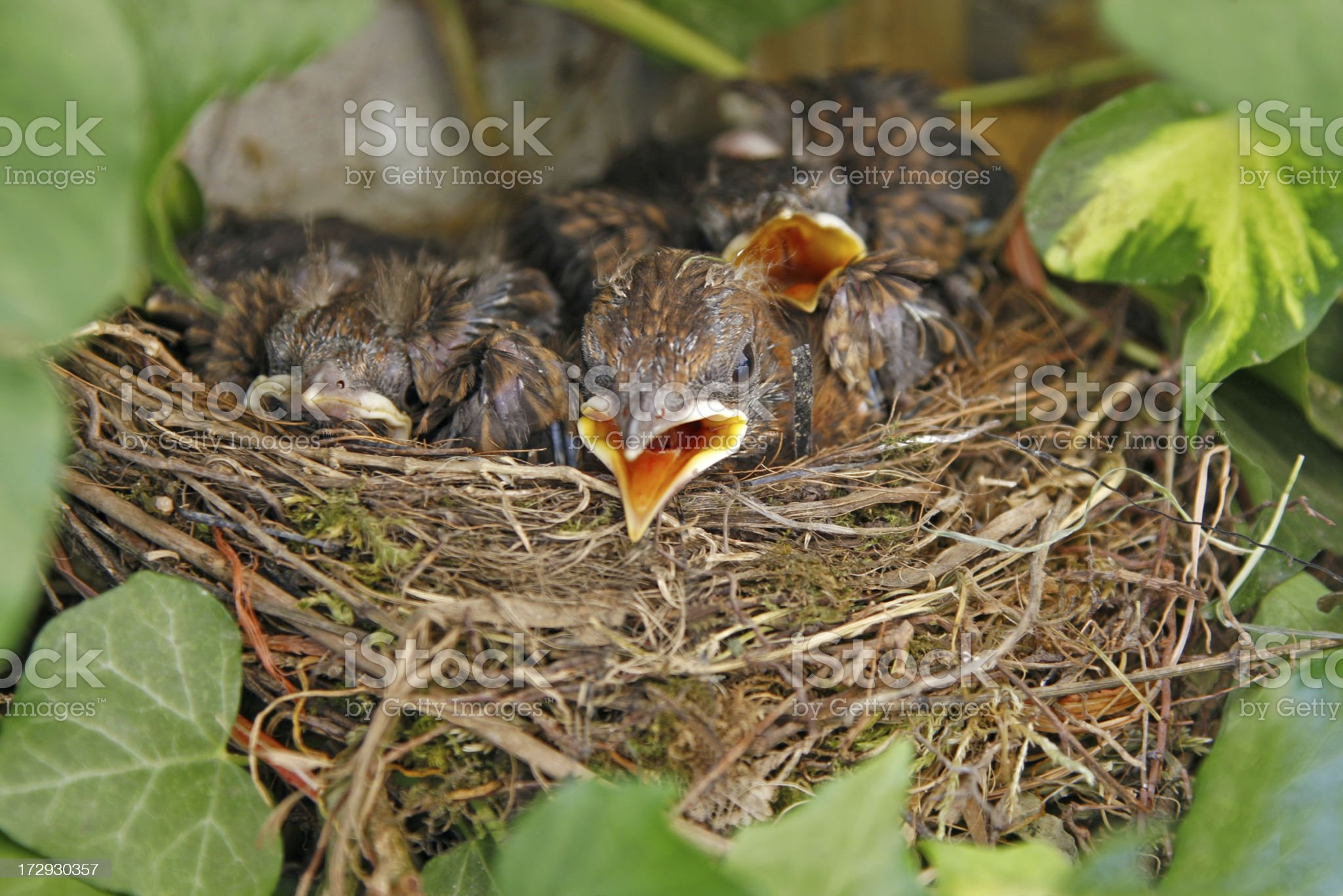 Young blackbirds in the nest  # 1 XL royalty-free stock photo