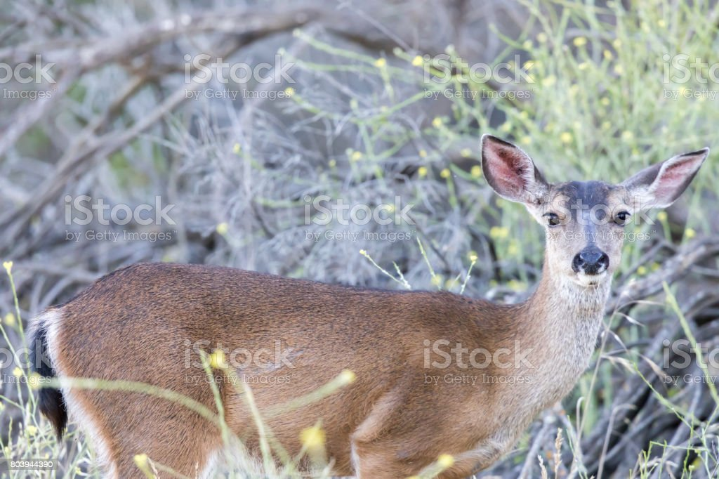 Young Black-tailed Deer (Odocoileus hemionus) Eating. stock photo