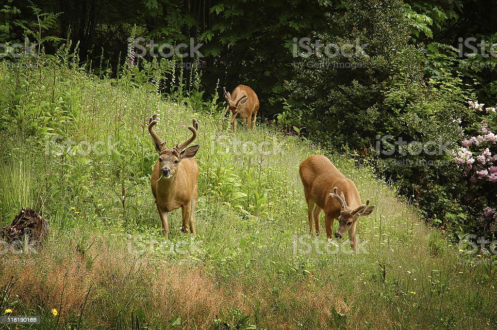 Young black-tailed deer stock photo
