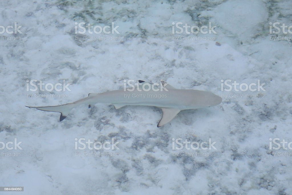 young black-tip reef shark stock photo
