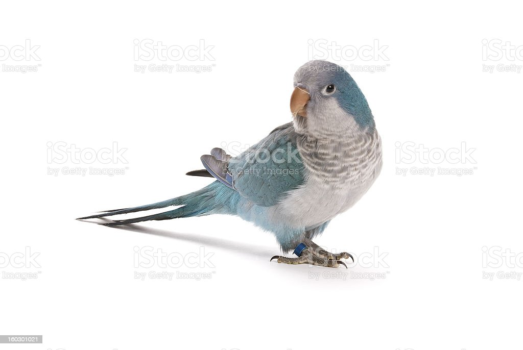 Young blue quaker, Myiopsitta monachus, 10 weeks old. royalty-free stock photo