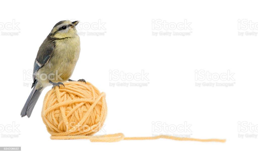 Young Blue Tit, Cyanistes caeruleus on ball of wool yarn stock photo
