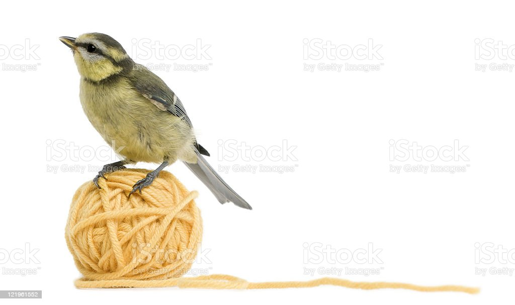 Young Blue Tit, on ball of wool yarn, white background. royalty-free stock photo