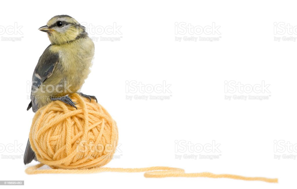 Young Blue Tit standing on ball of wool yarn stock photo