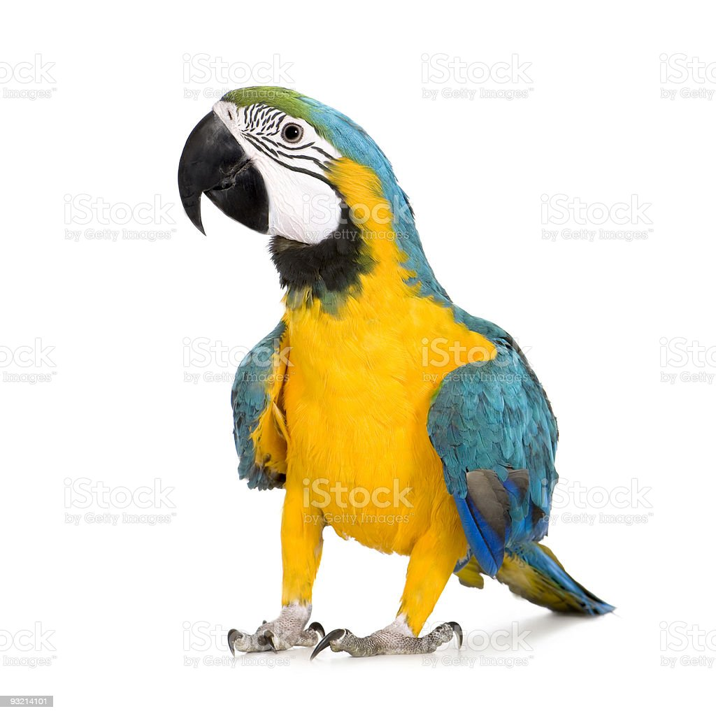 Young Blue-and-yellow Macaw - Ara ararauna (8 months) stock photo