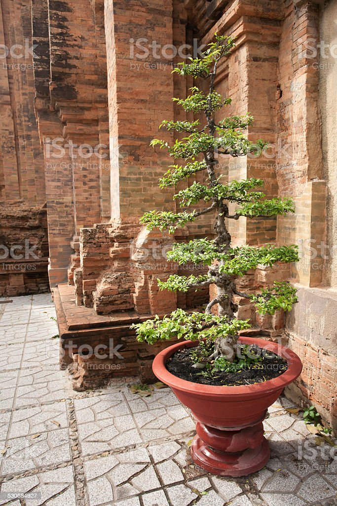 Young Bodhi Tree at Hindu Temple Vietnam stock photo