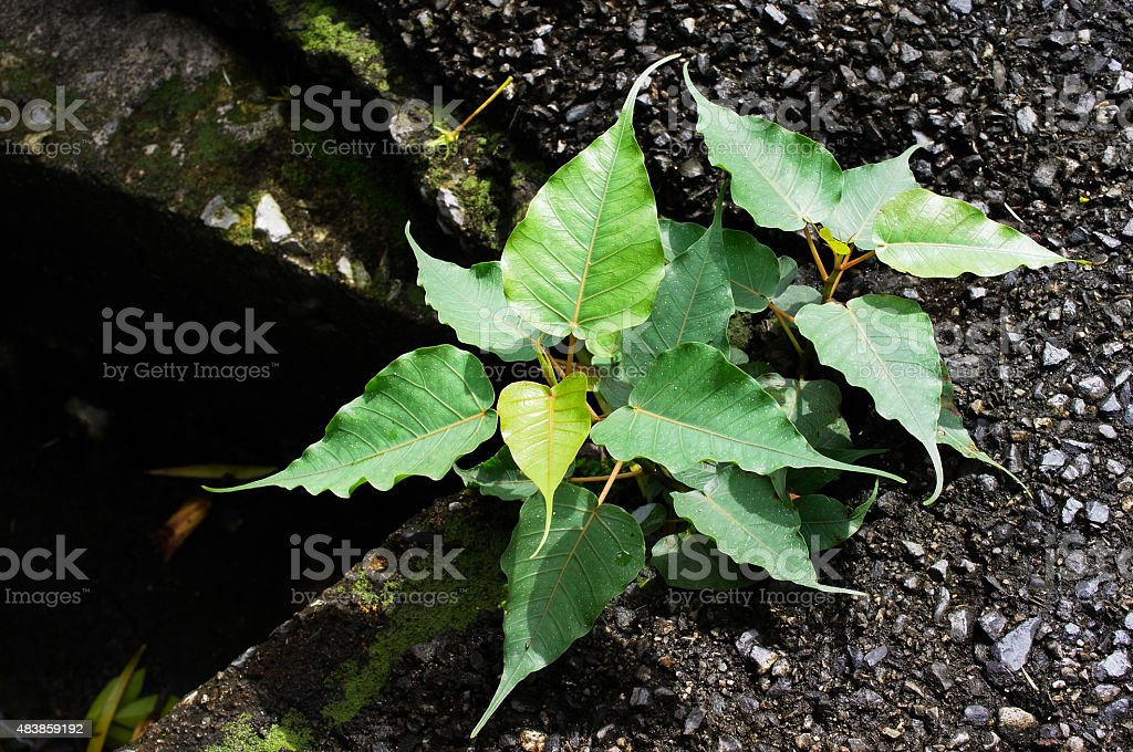 Young Bodhi Tree or Pipal Tree stock photo