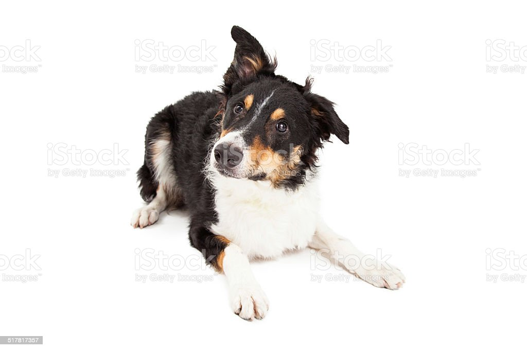 Young Border Collie Laying Lookng to Side stock photo