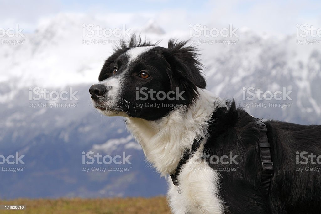 Young border collie with mountains background royalty-free stock photo