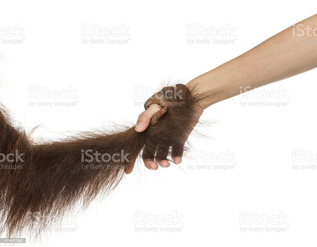 Young Bornean orangutan and human hands holding together stock photo