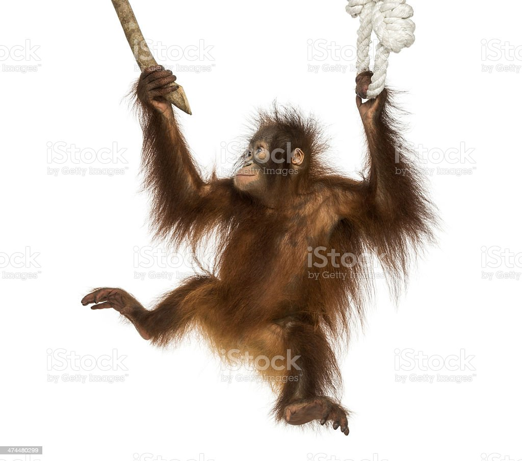 Young Bornean orangutan hanging on to a branch and rope stock photo