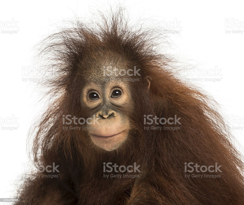Young Bornean orangutan looking at the camera, Pongo pygmaeus stock photo