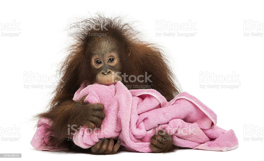 Young Bornean orangutan lying, cuddling a pink towel, Pongo pygmaeus stock photo