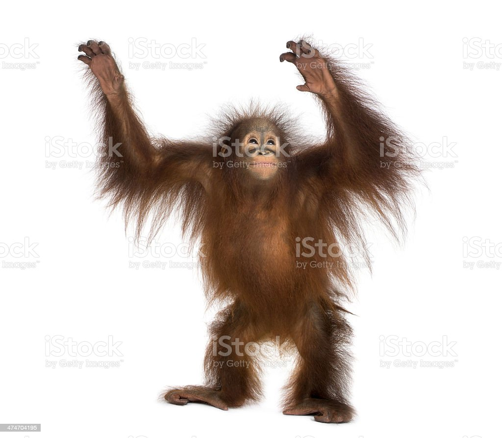 Young Bornean orangutan standing, reaching up, Pongo pygmaeus stock photo