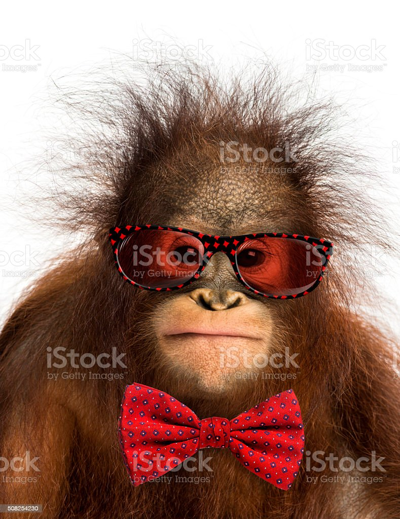 young Bornean orangutan wearing glasses and a bow tie, stock photo