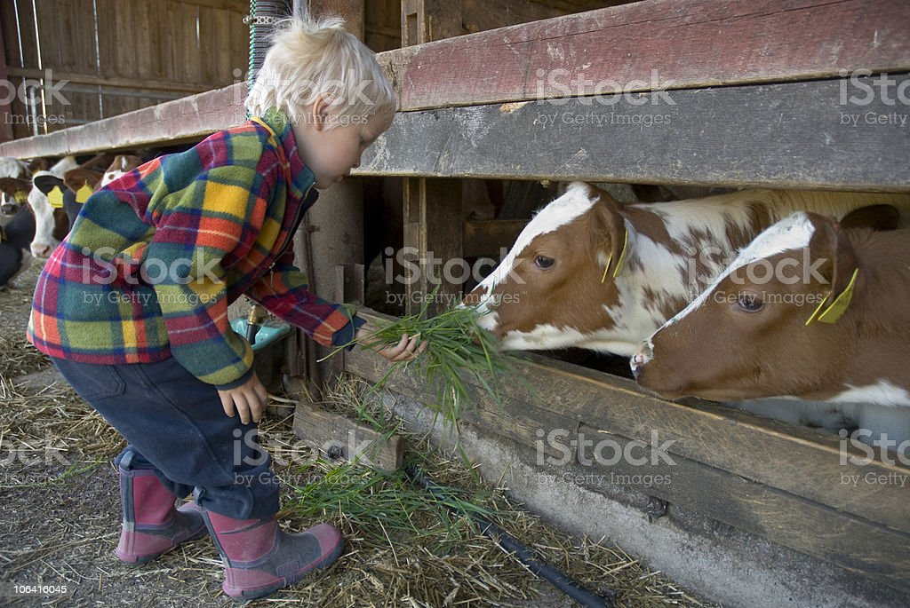 Young boy feeding cow stock photo