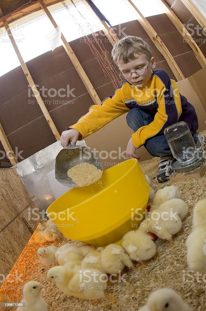 Young boy feeds his baby chicks 06 royalty-free stock photo