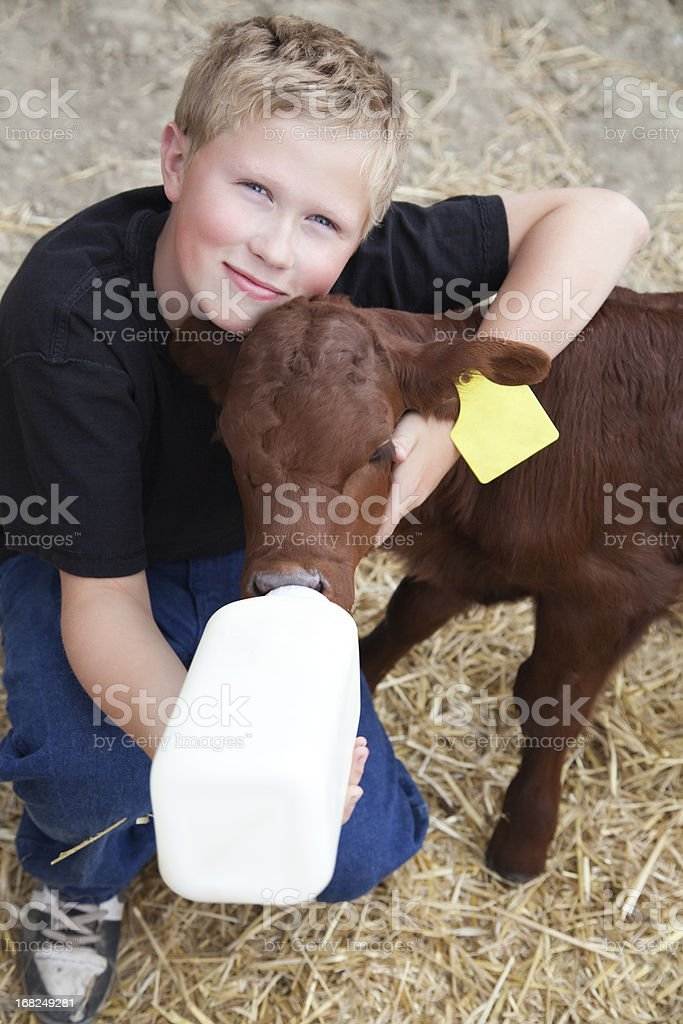 Young boy giving milk from a bottle to a calf stock photo