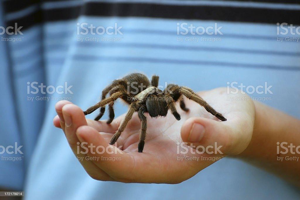 Young Boy Holds a Female Desert Tarantula stock photo
