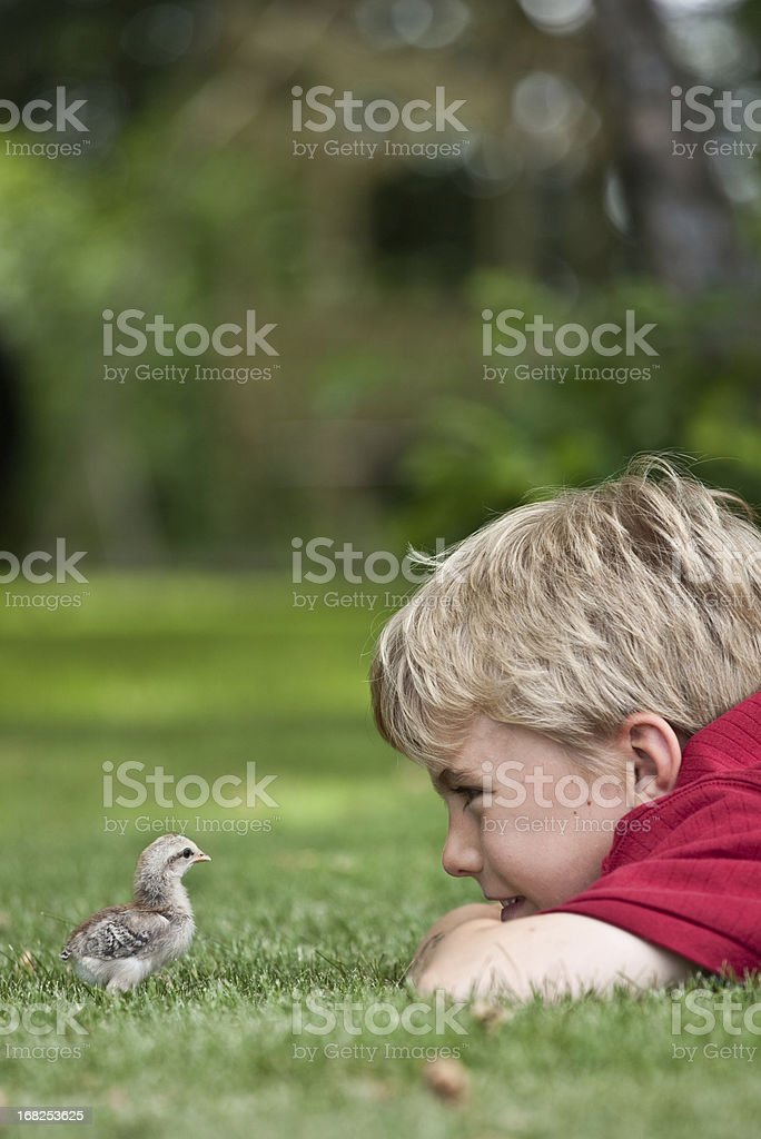Young Boy Looking at Baby Chick stock photo