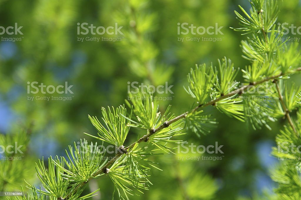 Young branch in spring from European Larch. royalty-free stock photo