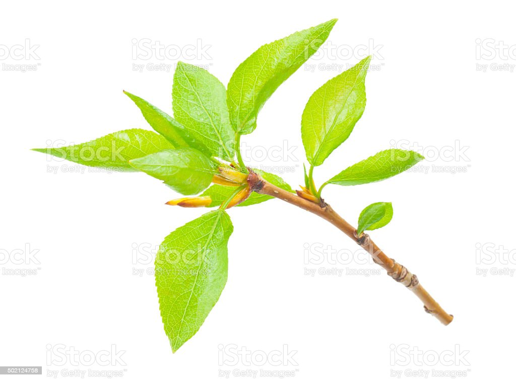 Young branch of a tree stock photo