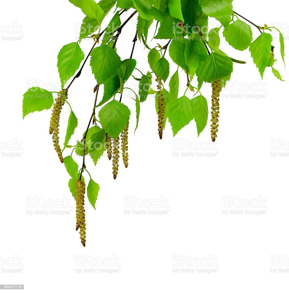 young branch of birch with buds and leaves ,  isolated stock photo