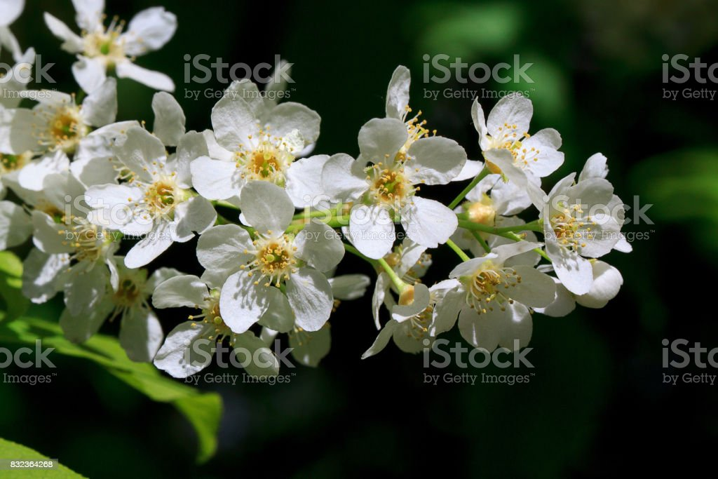 Young branch of blooming bird-cherry. stock photo