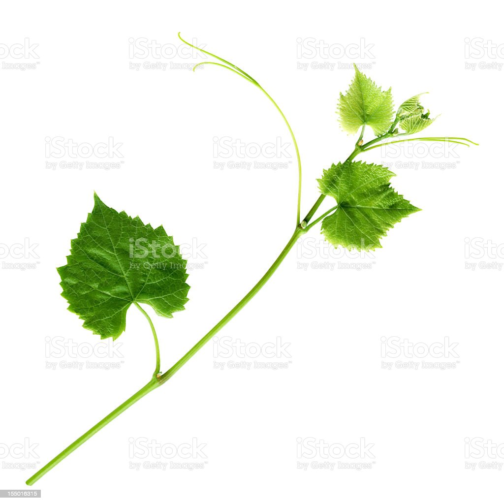 Young Branch of grapevine stock photo