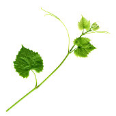 Young Branch of grapevine