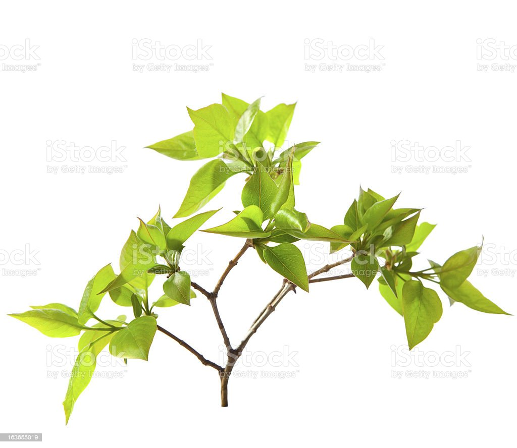 Young branch of lilac royalty-free stock photo