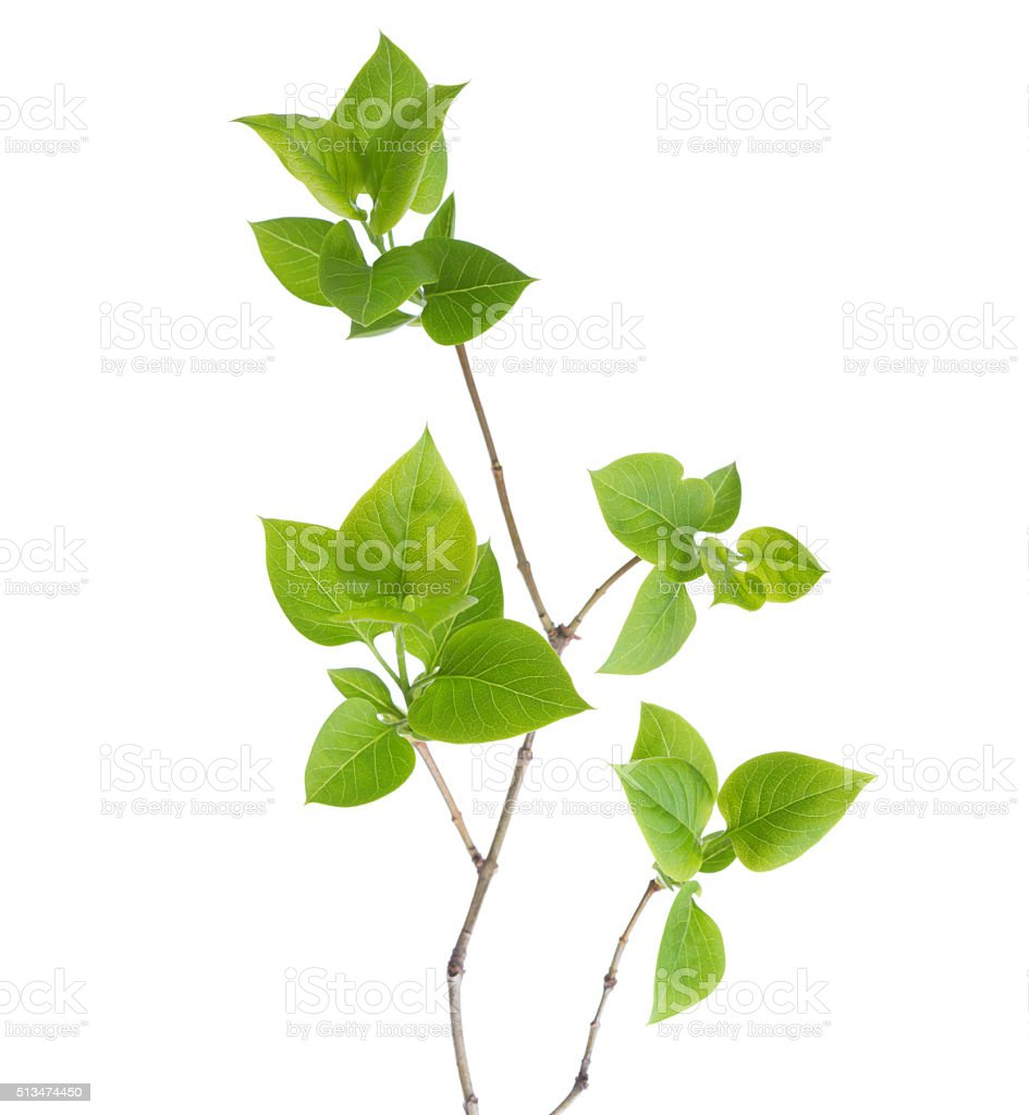 Young branch of lilac. stock photo