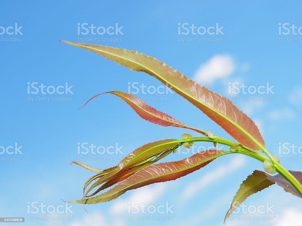Young branch of the willow tree stock photo
